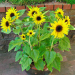 sunflower-junior2